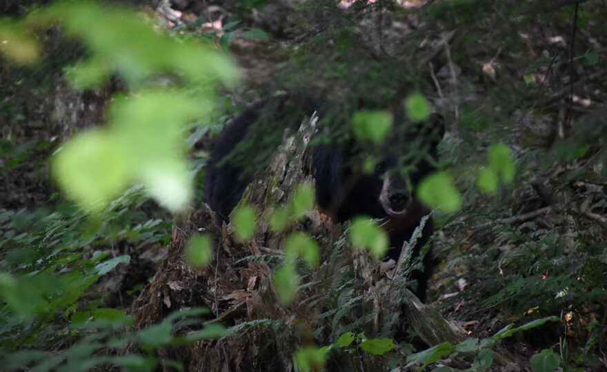 A portrait of an American Black Mother Bear in the woods. [Credit: by Joe Gerry]
